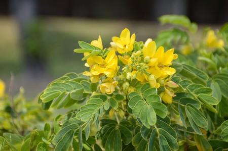 Senna surattensis flower in nature garden