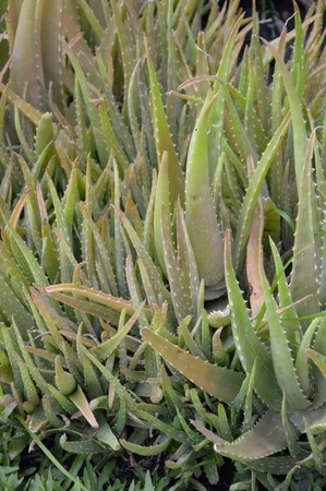 aloe barbadensis: Aloe vera plants in nature garden