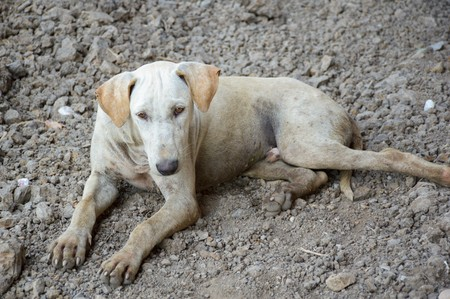 sitting on the ground: close up white dog in country Thailand