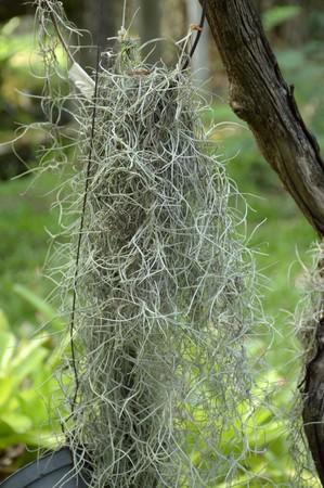tillandsia: Tillandsia usneoides plants in nature garden