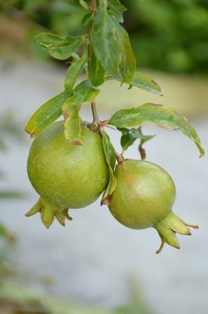 punica granatum: Punica granatum fruit in nature garden Stock Photo