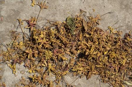 sere: dry Combretum indicum flower on cement floor