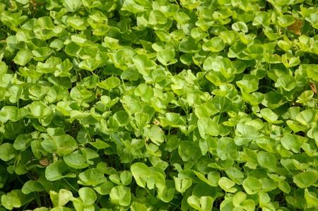 asiatica: fresh green centella asiatica plants in nature garden