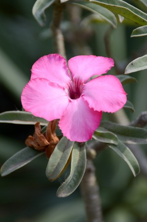 oleander: nerium oleander flower in nature garden