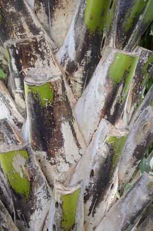 bark palm tree: bark palm tree texture for background