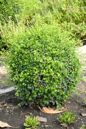 carmona: fresh green Carmona retusa plants in nature garden