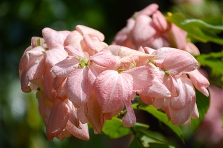 sirikit: pink Dona Queen Sirikit flower in nature garden