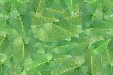 ipomoea: fresh green Ipomoea aquatica leaves pattern background