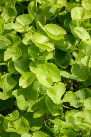 asiatica: Centella asiatica plants in nature garden Stock Photo