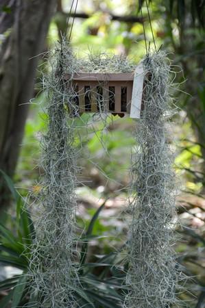epiphytic: Tillandsia usneoides plants in nature garden