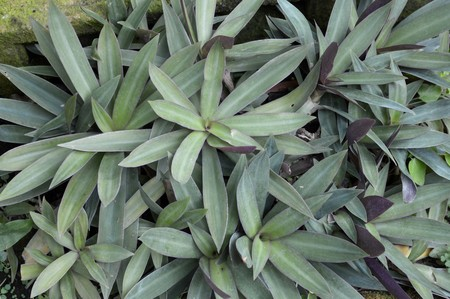oyster plant: Tradescantia spathacea plants in nature garden