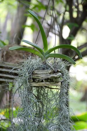 Tillandsia usneoides plants in nature garden