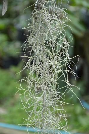 ivy hanging: Tillandsia usneoides plants in nature garden