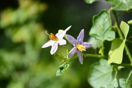 close up Solanum trilobatum flower in nature garden