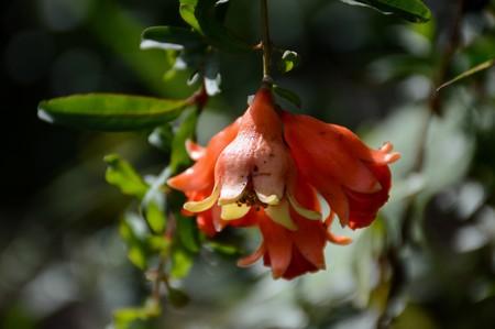punica granatum: close up Punica granatum flower in nature garden Stock Photo