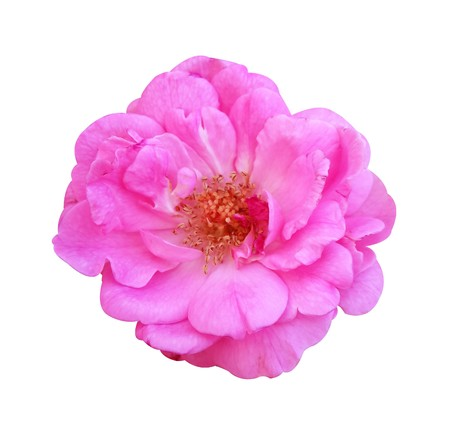 pink damask rose flower on white background
