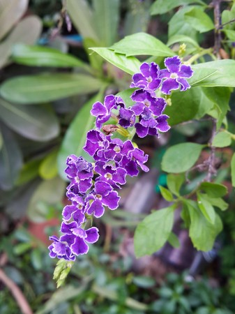 repens: Duranta repens flower in nature garden Stock Photo
