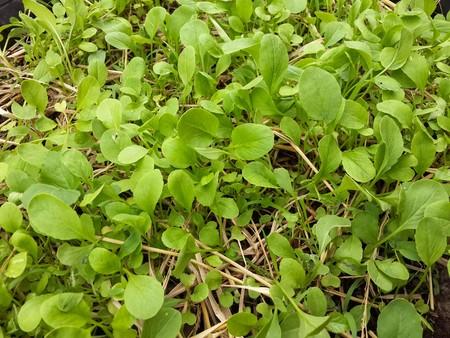 brassica: fresh green Brassica rapa plants in nature garden
