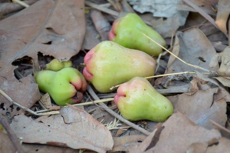rose apple on the ground