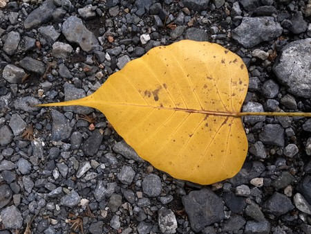 dry Ficus religiosa leaves on the ground