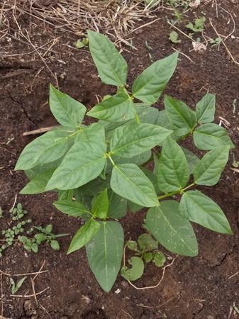 vigna: fresh green vigna unguiculata plants in nature garden