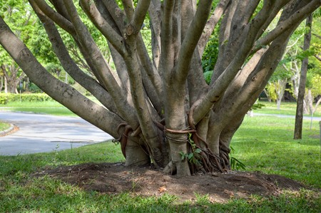 samanea saman: Samanea saman tree in nature garden