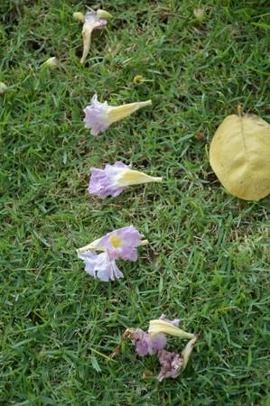 rosea: Tabebuia rosea flower on green grass