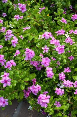 pink Catharanthus roseus flower in nature garden Фото со стока