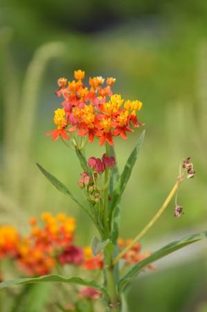 milkweed butterfly: Asclepias curassavica flower in nature garden