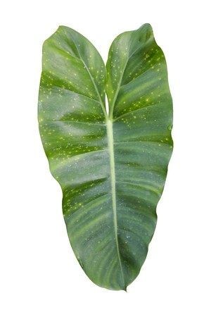 green Philodendron leaves on white background Reklamní fotografie