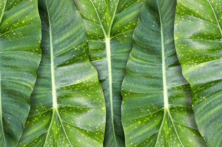 green Philodendron leaves pattern background