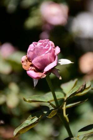 shrunken: pink damask rose flower in nature garden Stock Photo