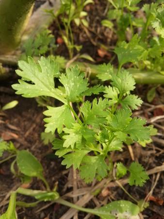 verse groene Coriandrum sativum planten in de natuur tuin Stockfoto