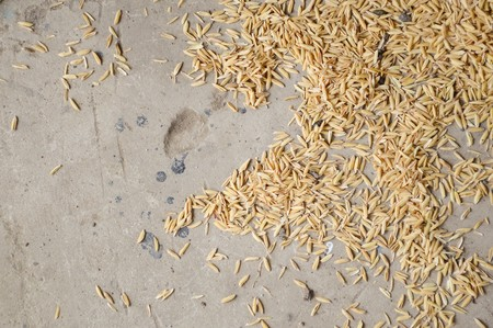 dry paddy on cement floor