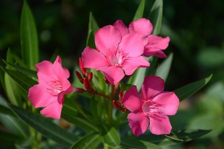 pink nerium oleander in nature garden Stock Photo