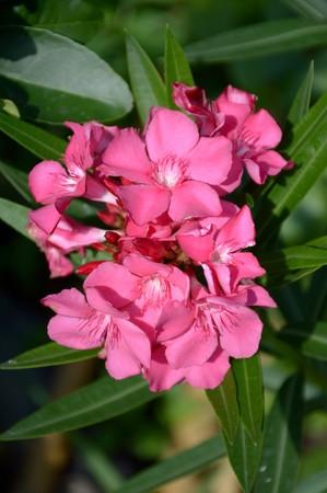 nerium: nerium oleander in nature garden