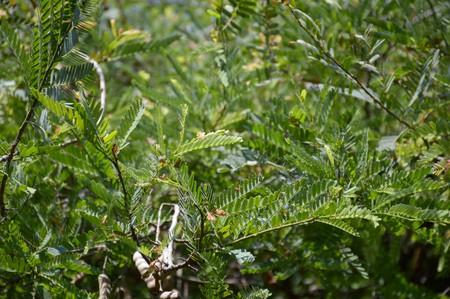 leguminosae: fresh green Tamarindus indica tree in nature garden Stock Photo
