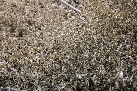 sere: dry Terminalia ivorensis plants in nature garden