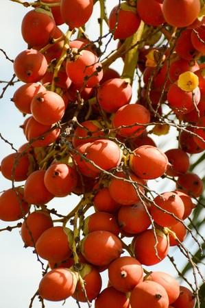 red Areca catechu fruit in nature garden Stock Photo