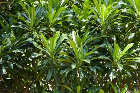 apocynaceae: Cerbera odollam tree in nature garden