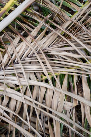 shrunken: dry coconut leaves on the ground