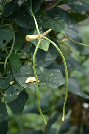 long bean: fresh Yard long Bean plants in nature garden Stock Photo