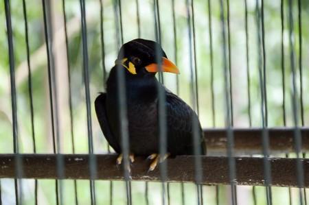 religiosa: Gracula religiosa bird in cage