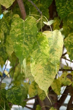green ficus religiosa leaves in nature garden