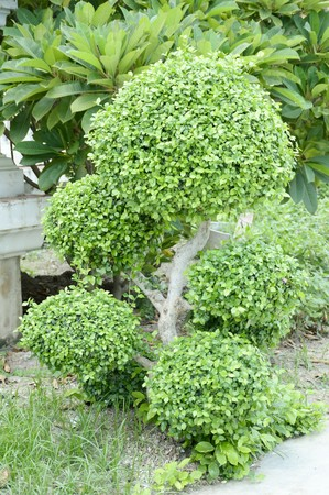 carmona: Carmona retusa tree