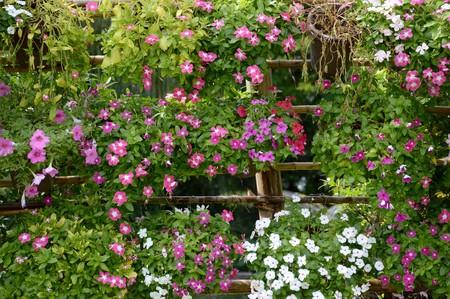 Catharanthus roseus flower in nature garden Imagens