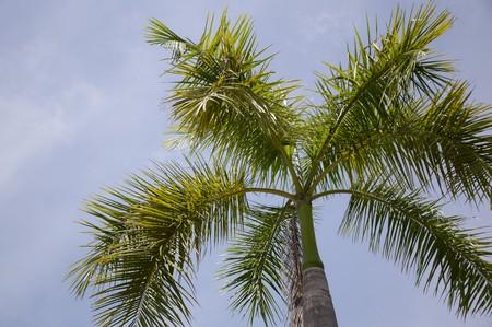 areca: Areca palm tree in nature garden