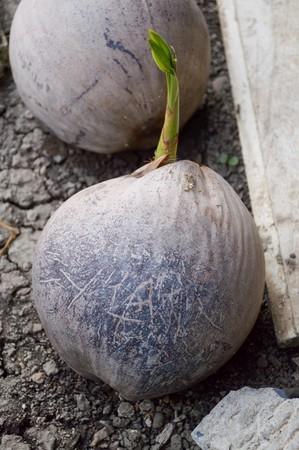 coconut sprout Reklamní fotografie