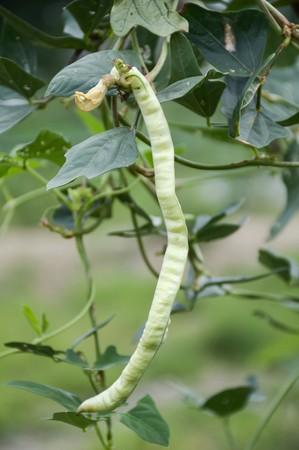 fresh Yard long Bean plants in nature garden Stock Photo