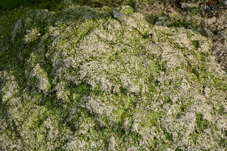 dry green duckweed on the ground